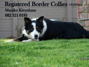 Registered Border Collies in Still bay SASDA -Geregistreerde Skaaphonde in Stilbaai